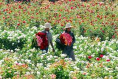 The Rose Garden at Beldi Country Club,  Marrakech, Morocco