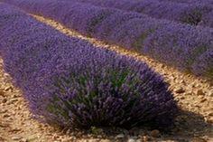 Így szaporítsd a levendulát, az egész udvarod a nyugalom és az illatok szigete lesz! - Tudasfaja.com