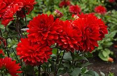 Garthwaite Nurseries 3 ARNHEM DECORATIVE DAHLIA (BORDER TYPE) TUBER/BULBS BRIGHT SCARLET-RED BLOOMS GARDEN SUMMER FLOWERING Garthwaite Nurseries http://www.amazon.co.uk/dp/B00KU6J9J2/ref=cm_sw_r_pi_dp_U58Svb1DCJHYJ