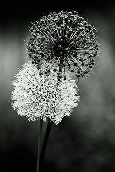 Black and white photography   monochrome photo    Alliums   Fireworks Envy   'Fireworks Envy' On Black