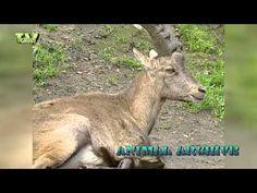 AlpenSteenbok - Ibex #02 (Capra ibex) - YouTube