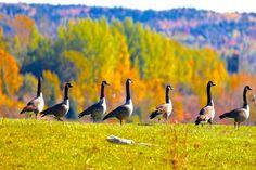 Duck, Duck...Goose...Goose...Goose...etc...