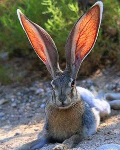 Jack Rabbit. The large prominently-veined ears help with both heat gathering (when they spread them to absorb the sun's warmth) and heat elimination (when the veins expand to dissipate excess warmth into the air.)