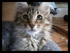 Maine Coon kitten VI by LanimilbuSx.deviantart.com on @deviantART
