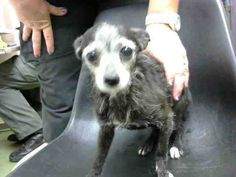 ●10•3•17 SL● ■DEVORE, CA■ ☆CRITICAL☆ TOOTIE - ID #A682740 (available 10/2) **RESCUE ONLY** POSSIBLE FEAR BITER MUST EXIT BY COB; OTHERWISE WILL BE EUTH LISTED TOMORROW I am a female, black Terrier. The shelter staff think I am about 8 years old. http://petharbor.com/pet.asp?uaid=SBCO1.A682740 I have been at the shelter since Sep 27, 2017. DEVORE, CA - EUTH LIST
