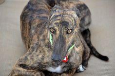 Home - Greyhound Adoption Center Adoption Center, Greyhounds, Camilla