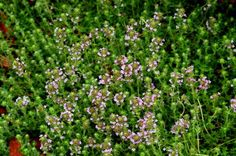 Red creeping thyme (image) has a spreading habit. I love the fragrance of its leaves. - David Beaulieu