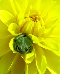 Seattle, Seattle Times Reader Photos of the Year, 2013, Frog in a flower, Photographer: Pamela Madigan, Bainbridge Island