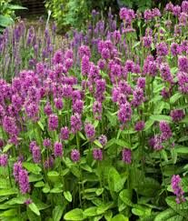 stachys off hummelo - Google Search