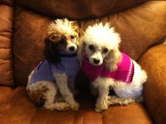 Toy poodle love !