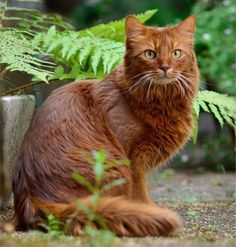 Hottest Free of Charge cat breeds somali Strategies Pet cats together with big the ears may end up being just about the most adorable critters in the world. These types of Pretty Cats, Beautiful Cats, Animals Beautiful, Cute Animals, Pretty Kitty, Beautiful Friend, Simply Beautiful, Warrior Cats, Fluffy Cat Breeds