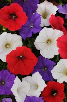 Petunia Shock Wave Volt Mix Pelleted Seeds for sale online Trailing Petunias, Easy Waves, Seed Storage, Shock Wave, Seeds For Sale, Annual Flowers, Organic Seeds, Plant Growth, Garden Seeds