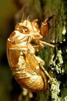 cicada Indiana summer