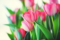 use your tulips to kiss winter goodbye..