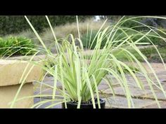 http://www.ozbreed.com.au/lucky-stripe-lomandra-is-a-variegated-plant-with-clean-contrasting-foliage.html Lucky Stripe™ Lomandra is one of the only ultra-tough no fuss strappy leaf variegated plants with such mass planting appeal. Click here for more info on Lucky Stripe™ Lomandra http://www.ozbreed.com.au/strappy-leaf-plants/lucky-stripe.html