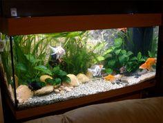 Aquascaping Ideas: Creating a Fancy Goldfish Setup - Juwel Rio 180 Goldfish Care, Goldfish Plant, Goldfish Types, Fantail Goldfish, Goldfish Aquarium, Aquarium Fish Tank, Planted Aquarium, Goldfish Tattoo, Aquarium Setup