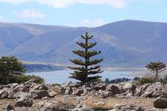 Araucaria jóven, Caviahue, Neuquén