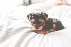 Free Image: Cute Yorkshire Terrier Puppy | Download more on picjumbo.com!