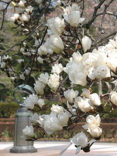 ~Tulip Magnolia