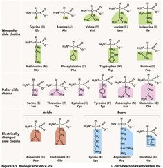 Proteins We've talked about amino acids before, but this is where they get interesting. Amino acids combine to make up proteins: proteins are polymers and amino acids are its monomers. Chemistry Lessons, Science Chemistry, Organic Chemistry, Medicinal Chemistry, Physical Science, Science Education, Science Experiments, Ap Biology, Molecular Biology