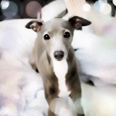 Italian Greyhound- Zach's not convinced yet, but I'm in love with them. I want you puppy!