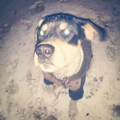 """My Treeing walker coonhound Vega. First snow. Hes like """"wtf is this?"""" Not very impressed."""
