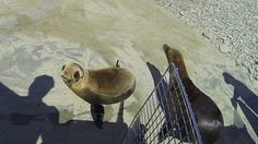 Number of Starving Sea Lions in California 'Unprecedented'  Rescuers say that more than 3,000 baby sea lions have washed ashore this year, raising questions about what the future holds after three years of mass strandings.