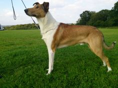 Smooth Collie dog photo | Smooth Collie Sable and White Dog Pedigree KC Reg | Plymouth, Devon ...