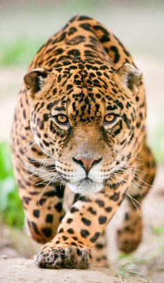 Jaguar panthera onca cropped.jpg 260×448 pixels