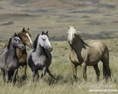 Source: Carol Walker as published on WildHoofBeats Landmark Appellate Court Decision Stops BLM Wyoming Wild Horse Wipeout Ruling Blocks Agency from Treating Over 1 Million Acres of Public Lands as …