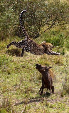 Leopard and warthog