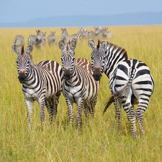 When not on research trips or assisting Audley travellers to develop their perfect itineraries, our Country Specialists still find time to travel on their own. Hidden Beaches Specialist Hannah just returned from Kenya with this beautiful shot of Zebras #Kenya #Africa #Zebra #Safari #Animal #Animals #SafariPhotography #Wildlife #WildlifePhotography #Nature #NaturePhotography #TravelPhotography #TravelGram #Photography #Travel #TheAudleyWay