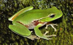 Résultats Google Recherche d'images correspondant à http://www.weesk.com/wallpaper/animaux/grenouilles-crapauds/14-grenouille-grenouilles-crapauds-animaux.jpg