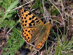 Queen of Spain Fritillary, Issoria lathonia - Butterflies - NatureGate