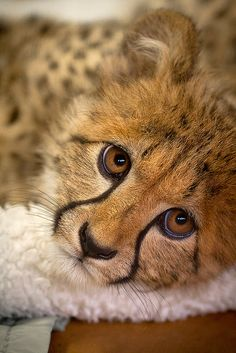 This is Kiburi, one of the star cheetah ambassadors at the Safari Park, when he was still in the nursery.