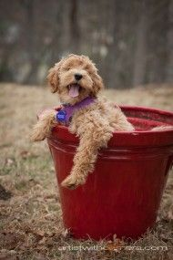 Labradoodles are as close as you'll get to real life teddy bears :)