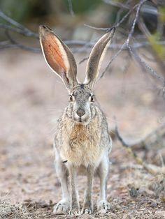 Black-tailed Jackrabbit - Big Bend National Park, Texas