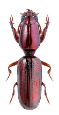 Dyschirius Chiridysus euxinus