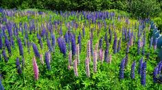 Lupins in Saint John, New Brunswick, Canada.  These grow wild along the roadsides and in the fields during the spring.