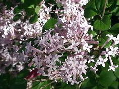 Spring Beauties...Dwarf Lilac!