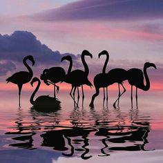 Son aves de gran tamaño   muy vistosas e imponentes   con plumas color rojizo   que las hacen diferentes.     Los lagos donde se crían ...