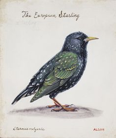 European starling - Andrew Leach Projects