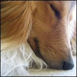 History and Info about the Sheltie ~ A MUST READ IF YOU LUV SHELTIES ~