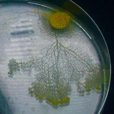 How Brainless Slime Molds Redefine Intelligence. VIA: Scientific American Magazine