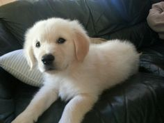 Golden Retriever Puppy Grace