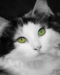 Green-Eyed Cat Portrait: Black and White Color Splash, posted by DesignByJV Pretty Cats, Beautiful Cats, Animals Beautiful, Pretty Kitty, Gorgeous Eyes, Cute Kittens, Cats And Kittens, Ragdoll Cats, Animals And Pets