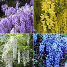 Love all of these colors of Wisteria! Such a Magickal Tree species! Chinese Wisteria, Wisteria Tree, Purple Wisteria, Purple Garden, Home Garden Plants, Garden Trees, Trees To Plant, Flower Garden Plans, Moss Wall