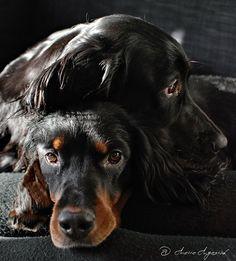 "Gordon Setter Dogs I""ve always loved the GS, beautiful dog. RL"