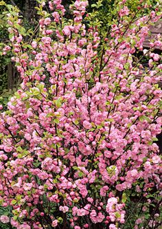 Prunus triloba (Flowering Almond Shrub) Spring flowers, pink, gardening, landscaping