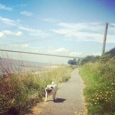 Sidney at hessle foreshore hull happy pug